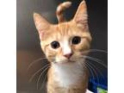Adopt Pookie a Domestic Short Hair