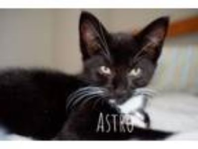 Adopt Astro Jetson a Domestic Short Hair