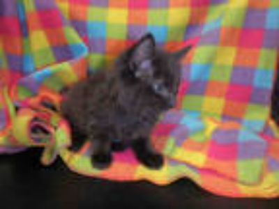 Adopt a All Black Domestic Mediumhair / Mixed (medium coat) cat in Chatsworth