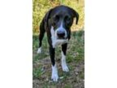 Adopt Daisy a Black - with White Pointer / Border Collie / Mixed dog in Waldorf