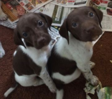 German Shorthaired Pointer PUPPY FOR SALE ADN-78469 - GSP AKC registered Puppies