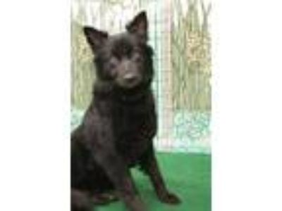 Adopt Lou Lou a Black Collie / Mixed dog in SMITHFIELD, NC (25181523)