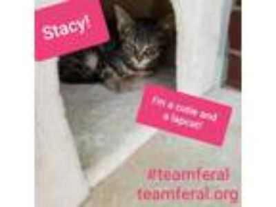 Adopt Stacy a Domestic Short Hair