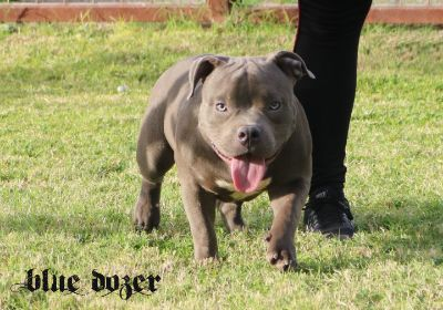 American Bully PUPPY FOR SALE ADN-103701 - Blue American Bully Male