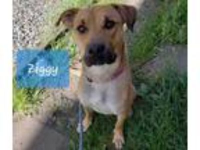 Adopt ZIGGY a Tan/Yellow/Fawn Labrador Retriever / German Shepherd Dog / Mixed