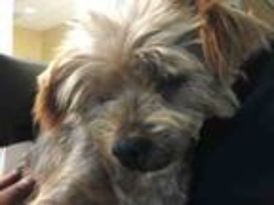 Adopt HAPPY a Yorkshire Terrier