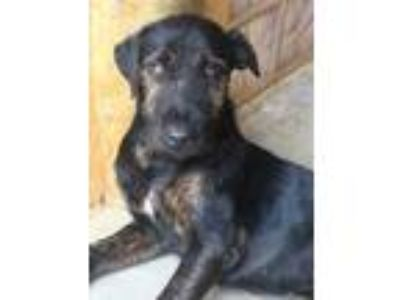 Adopt Roger a Black Airedale Terrier / Mixed dog in Lihue, HI (25807710)