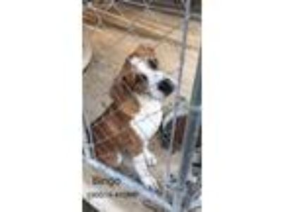 Adopt Bingo a Brown/Chocolate - with White Beagle / Mixed Breed (Medium) / Mixed