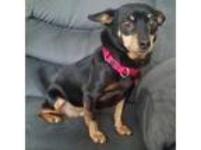 Adopt Alisa a Miniature Pinscher, Mixed Breed