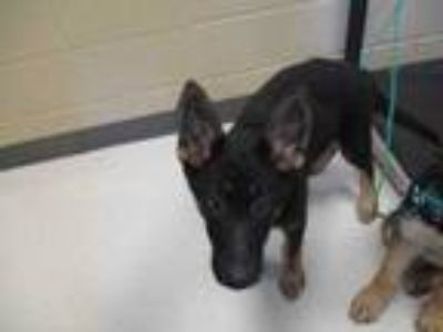 Adopt Dory a Black German Shepherd Dog / Mixed dog in Irving, TX (25529971)