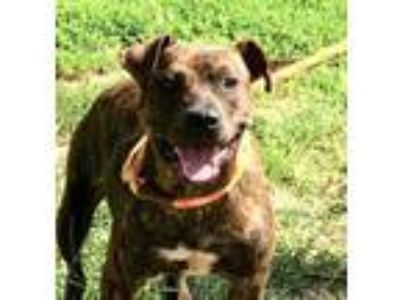 Adopt Brie a American Staffordshire Terrier