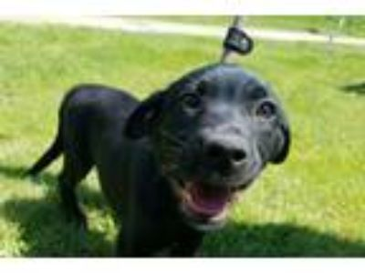 Adopt Emma a Labrador Retriever, Mixed Breed