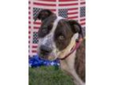 Adopt Lola a Brown/Chocolate American Pit Bull Terrier / Mixed dog in