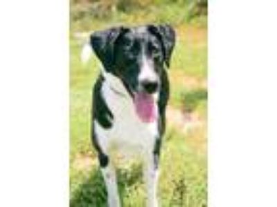 Adopt Hope a Black - with White Whippet / Labrador Retriever / Mixed dog in