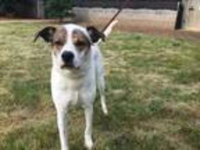 Adopt Peggy a White Pointer / Mixed dog in Greenville, SC (25237400)