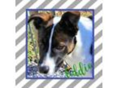 Adopt Eddie a Fox Terrier