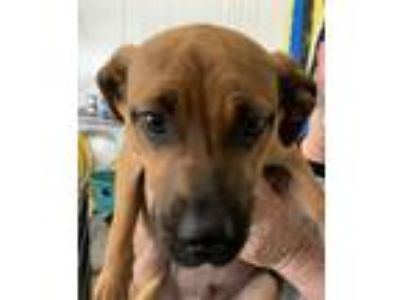 Adopt Curious Cur Puppies - Cristoff a Black Mouth Cur