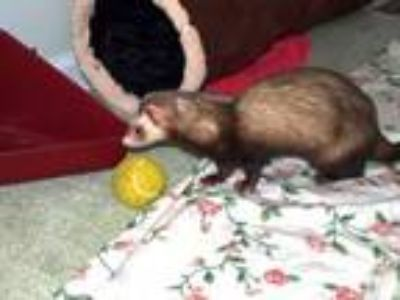 Adopt Flash a Ferret