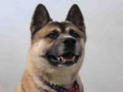 Adopt KODAK a Tricolor (Tan/Brown & Black & White) Akita / Husky / Mixed dog in