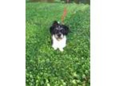 Adopt Benny a Lhasa Apso, Cavalier King Charles Spaniel