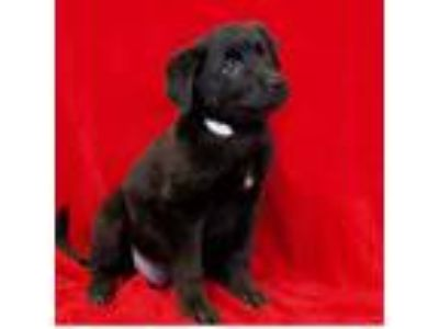 Adopt Harley a Black Labrador Retriever / Shepherd (Unknown Type) / Mixed dog in
