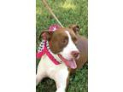 Adopt Lucy a Red/Golden/Orange/Chestnut - with White Boxer / Mixed dog in