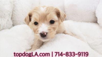 Maltipoo puppy  - Male - Tanner ($1,299)