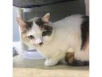 Adopt Dixie a Calico or Dilute Calico Domestic Shorthair cat in Wadena