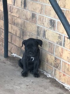 Cane Corso PUPPY FOR SALE ADN-96677 - 9 week old female cane corso