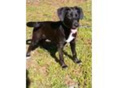 Adopt Gracie a Black - with White Labrador Retriever / American Pit Bull Terrier