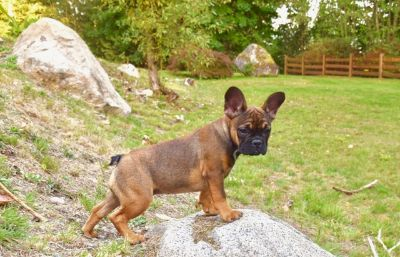 French Bulldog PUPPY FOR SALE ADN-48360 - Beautifulrare French Bulldog puppies available