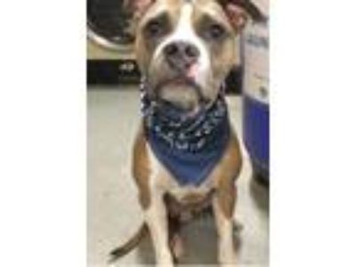 Adopt Jackson a Brown/Chocolate - with White Boxer / American Staffordshire