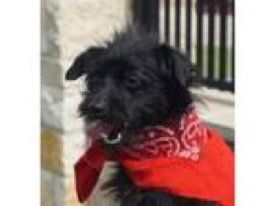 Adopt Tazz a Terrier, Mixed Breed