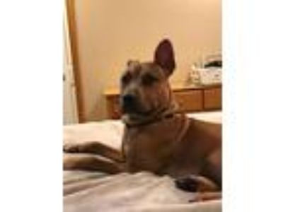 Adopt Rocco a Red/Golden/Orange/Chestnut - with White Pit Bull Terrier / Mixed