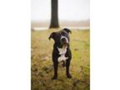 Adopt Bowie a Black - with White Pit Bull Terrier / Mixed dog in Garden City