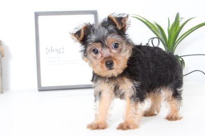 Yorkshire Terrier PUPPY FOR SALE ADN-99519 - Sasha Female Yorkie Puppy