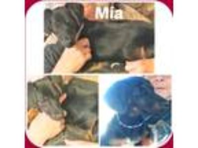 Adopt MIA a Black - with Tan, Yellow or Fawn Dachshund / Mixed dog in Malvern