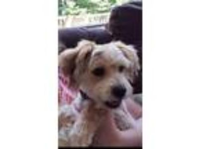 Adopt Benny - Courtesy Listing a Poodle, Terrier
