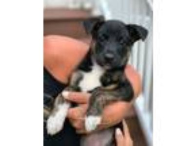 Adopt MAYFIELD a Tricolor (Tan/Brown & Black & White) Australian Shepherd /