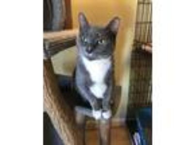 Adopt Koury a Domestic Short Hair
