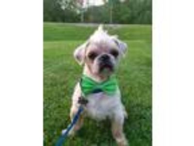 Adopt Elliott a Tan/Yellow/Fawn Shih Tzu / Mixed dog in West Allis