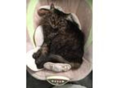 Adopt Chewie a Brown Tabby Maine Coon cat in Ormond Beach, FL (23158341)