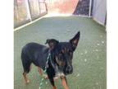 Adopt CEDRIC a Australian Cattle Dog / Blue Heeler, Mixed Breed