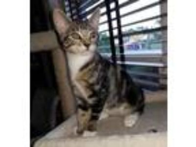Adopt Charm a Brown Tabby Domestic Shorthair / Mixed (short coat) cat in Fort