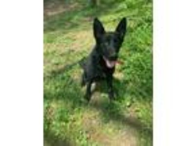 Adopt Ginger - available 5/19 a Black German Shepherd Dog / Shepherd (Unknown