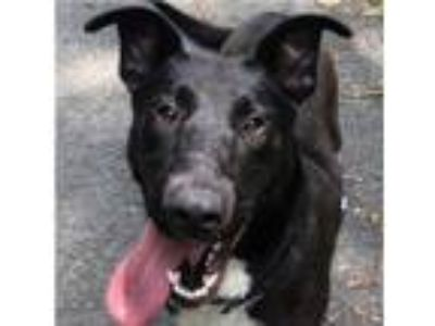 Adopt Callie a Shetland Sheepdog / Sheltie, Labrador Retriever