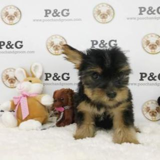 Yorkshire Terrier PUPPY FOR SALE ADN-75513 - Yorkshire Terrier  Cocoa Female
