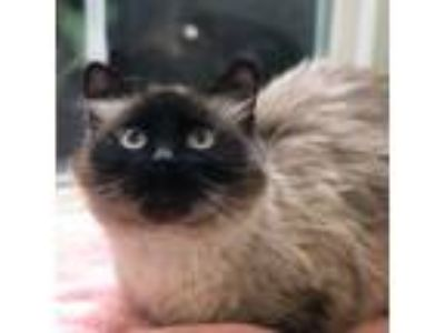 Adopt Rachel a Brown or Chocolate Siamese / Domestic Shorthair / Mixed cat in