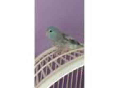 Adopt Jordan a Blue Parrotlet bird in Staten Island, NY (21311042)