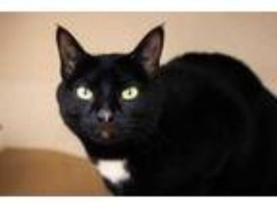 Adopt Lexi a All Black Domestic Shorthair / Domestic Shorthair / Mixed cat in